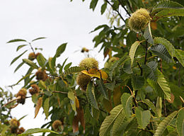 260px Chestnuts on tree