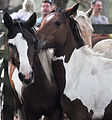 Chincoteague ponies by Bonnie Gruenberg3.jpg