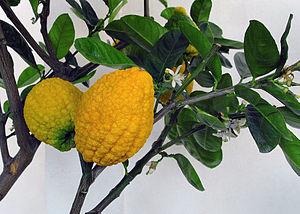 Citron - Image: Chinesische Zedrat Zitrone