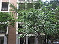 Chionanthus retusus - Chinese Fringetree - Taipei.jpg