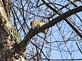 Chipmunk in tree.jpg