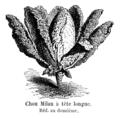 Chou Milan à tête longue Vilmorin-Andrieux 1904.png