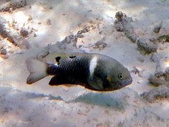 Twinspot damselfish (Chrysiptera biocellata)
