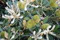 Chrysolepis sempervirens Owens Valley.jpg
