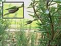 Chrysolina americana larve 02.jpg
