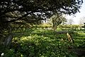 Church of St Mary Little Laver Essex England - churchyard overgrown fenced tomb under yew.jpg