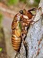 Cicada larva climbing tree - 1.jpg