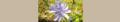 Cichorium intybus. Reader.png
