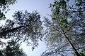 Cimes de filaos au jardin botanique et zoologique de l'UAC.jpg