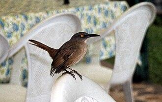 Brown trembler - Image: Cinclocerthia ruficauda Dominica 2001 a