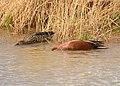 Cinnamon teal on Seedskadee National Wildlife Refuge (41787674432).jpg