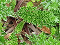 Cirsium maritimum leaf.jpg