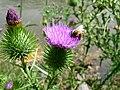 Cirsium vulgare flowers and honey bee 0.jpg