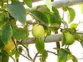 Citrus x limon (DITSL).JPG