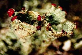 Cladonia pleurota-5.jpg