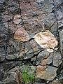 Clast-rich impact pseudotachylite (Sudbury Breccia, Paleoproterozoic, 1.85 Ga; Crab Lake South roadcut, south-southeast of Cartier, Ontario, Canada) 1 (32791637707).jpg