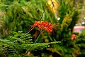 Clavellina (Caesalpinia pulcherrima) (14412797712).jpg