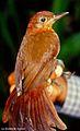 Clibanornis rubiginosus (Ruddy Foliage-gleaner) (7069142559).jpg