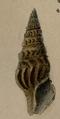 Clionella semicostata 001.png