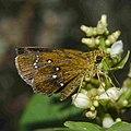Close wing of Iambrix salsala (Chestnut Bob) butterfly.jpg