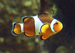 Clownfisch (Amphiprion ocellaris).jpg