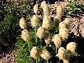 Clump of pasque flower seedheads (399fb2ddb25240e9b22d22ffde02b054).JPG