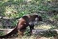 Coati mundi -- racoon family, yawning (24025115833).jpg