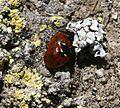 Coccinella septempunctata - Flickr - S. Rae.jpg