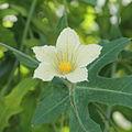 Coccinia sessilifolia-IMG 5461.jpg