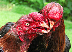 Two Roosters fighting.