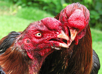 Rooster - Two cocks fighting