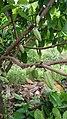 Cocoa tree 2.jpg