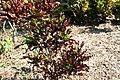 Codiaeum variegatum 13zz.jpg