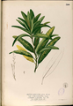 Codiaeum variegatum Blanco2.390-original.png