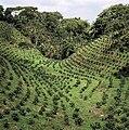 Coffee Plantation1.jpg
