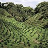 Coffee plantation in India