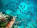 "Color-full view at coral-reef, ""Dive Solana"" - panoramio.jpg"