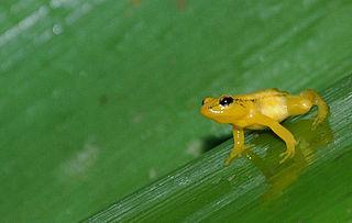 <i>Anomaloglossus beebei</i> Species of amphibian