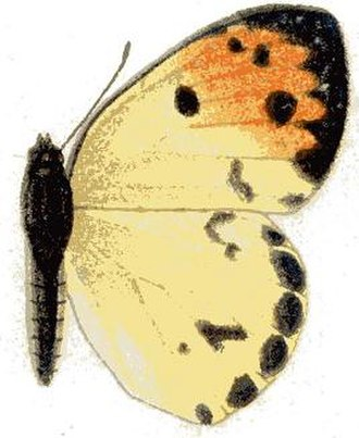 Colotis incretus - Female