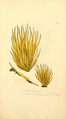 Coloured Figures of English Fungi or Mushrooms - t. 234.png
