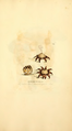 Coloured Figures of English Fungi or Mushrooms - t. 401.png