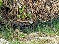 Common Crossbill, Corsica (35641394075).jpg