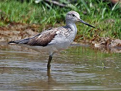Common Greenshank (Tringa nebularia) at Bharatpur I IMG 5523.jpg