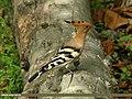 Common Hoopoe (Upupa epops) (23352911026).jpg