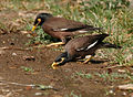 Common Myna (Acridotheres tristis) drinking water W IMG 7971.jpg