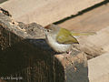 Common Tailorbird I IMG 9044.jpg