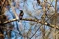 Common grackle (38715134020).jpg
