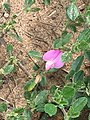 Common restharrow (Ononis repens) on a Lincolnshire roadside.jpg