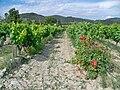 Comtat Venaissin Rosier en bout de vignes.jpg