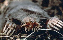 picture of a random scary Star-nosed mole